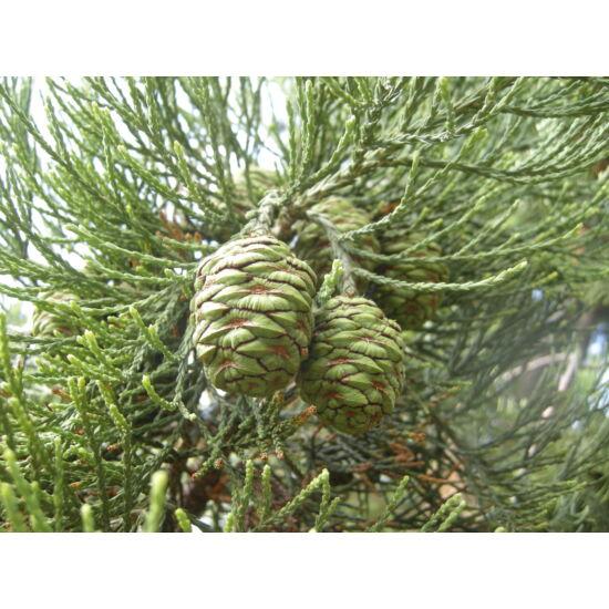 Sequoiadendron giganteum - Óriás mamutfenyő