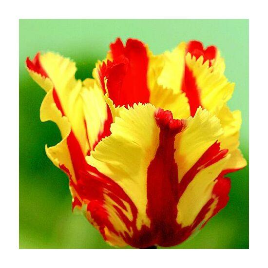 Papagájvirágú tulipán 'Flaming Parrot'