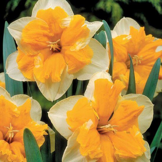Narcissus 'Orangery'-  Hasadt koronájú nárcisz