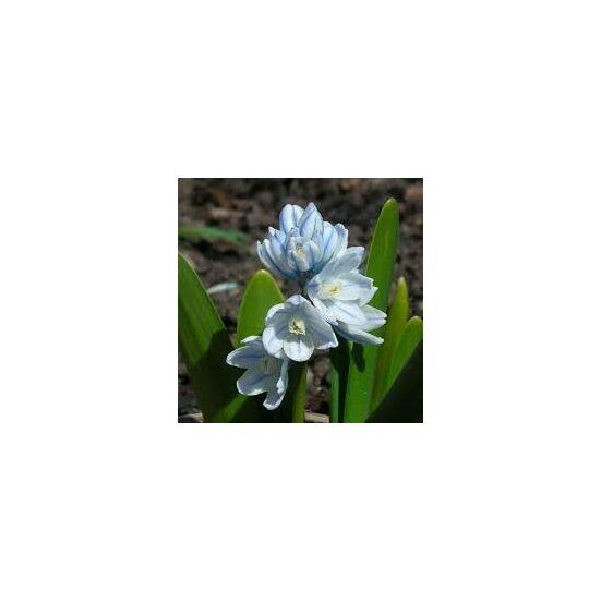 Puschkinia scilloides - Puskin csillagvirág