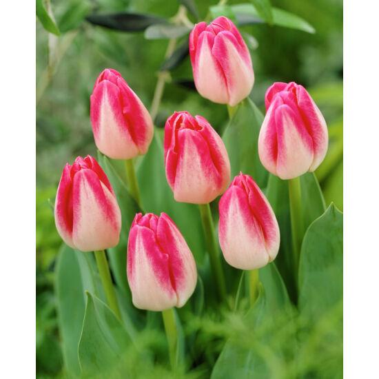 Triumph-típusú tulipán 'Page Polka'