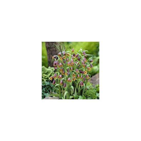 Fritillaria uva-vulpis - Császárkorona