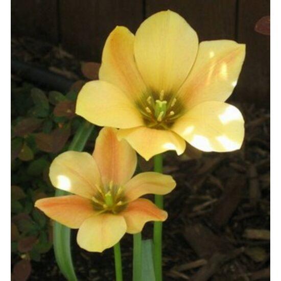 Tulipa batalinii 'Bronz Charme' - Botanikai tulipán