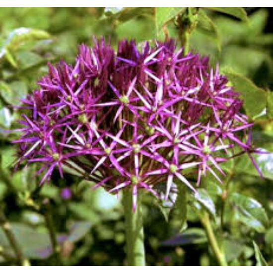 Allium chrystophii - Léggömbhagyma