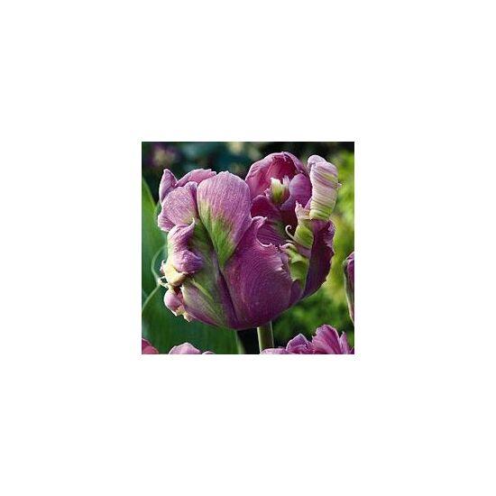 Papagájvirágú tulipán 'Rai'