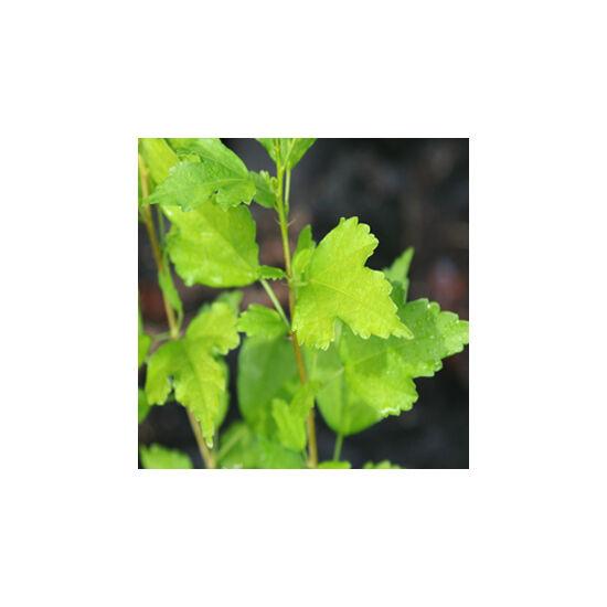 Hibiscus syriacus - Mályvacserje