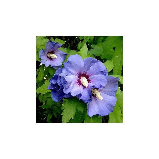 Hibiscus syriacus 'Marina' – Sötétkék virágú mályvacserje