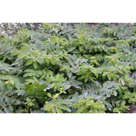 Hypericum calycinum - Örökzöld orbáncfű