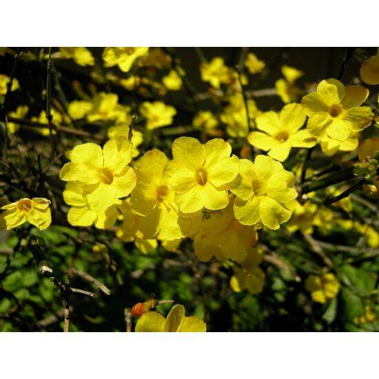 Jasminum nudiflorum - Téli jázmin