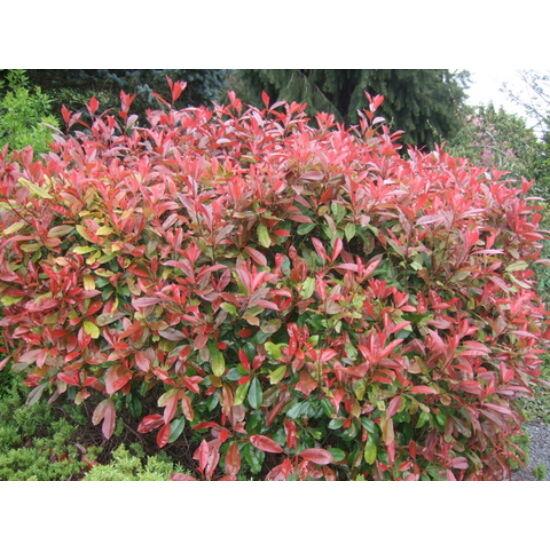 Photinia fraseri 'Little Red Robin' - Törpe vörös korallberkenye
