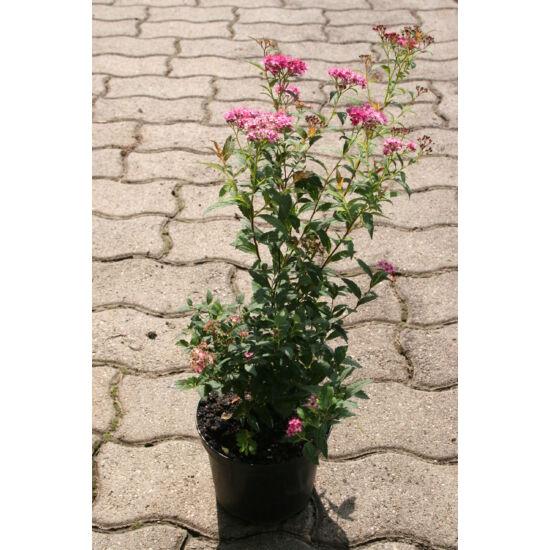 Spiraea japonica 'Anthony Waterer' - Pompás japán gyöngyvessző