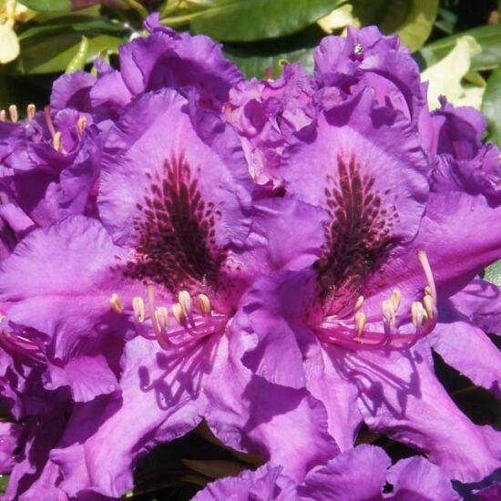 Rhododendron 'Azzuro' – Törpe örökzöld havasszépe (liláskék)