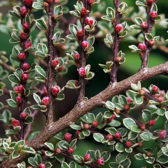 Cotoneaster horizontalis 'Variegata' – Tarkalombú madárbirs