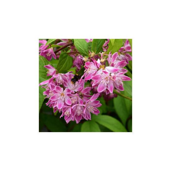 Deutzia x hybrida 'Strawberry Fields' – Gyöngyvirágcserje