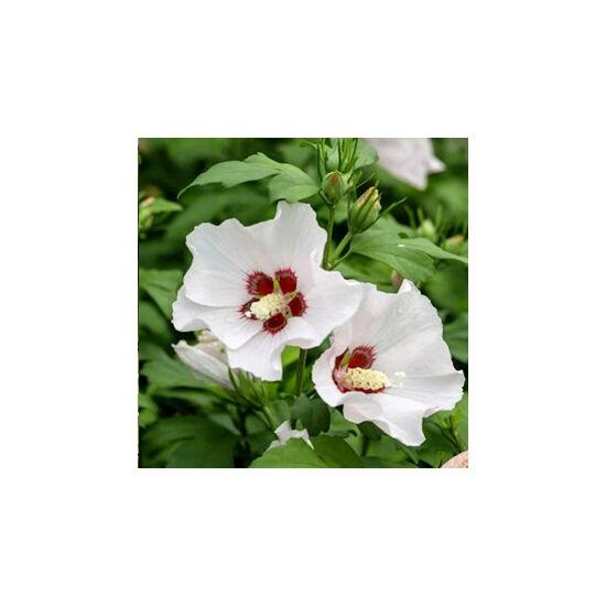 Hibiscus syriacus 'Mathilda'– Mályvacserje
