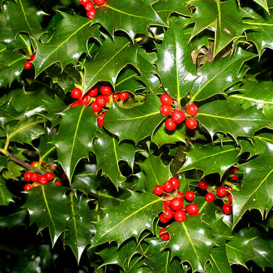 Ilex aquifolium - Közönséges magyal