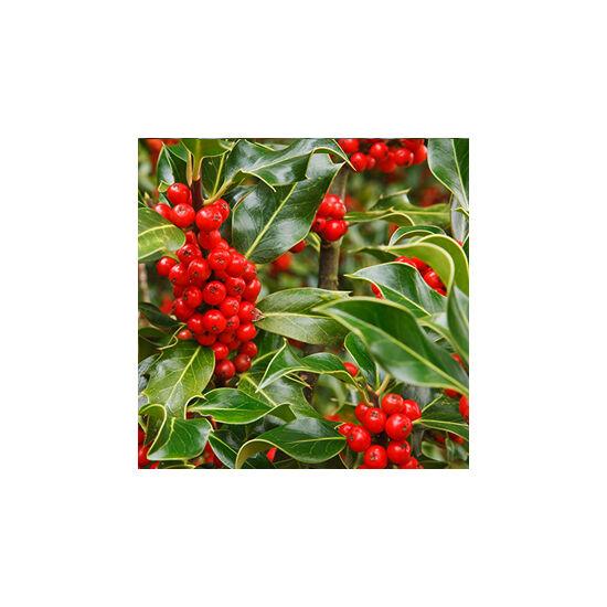 Ilex aquifolium 'J. C. van Tol' – Magyal