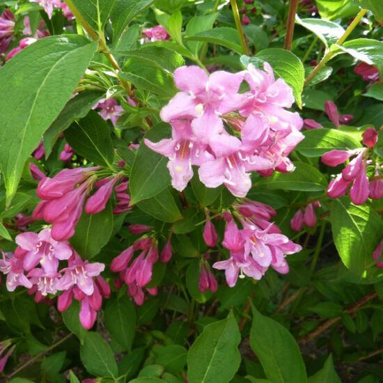 Weigela 'Abel Carriere' – Rózsaszín virágú rózsalonc