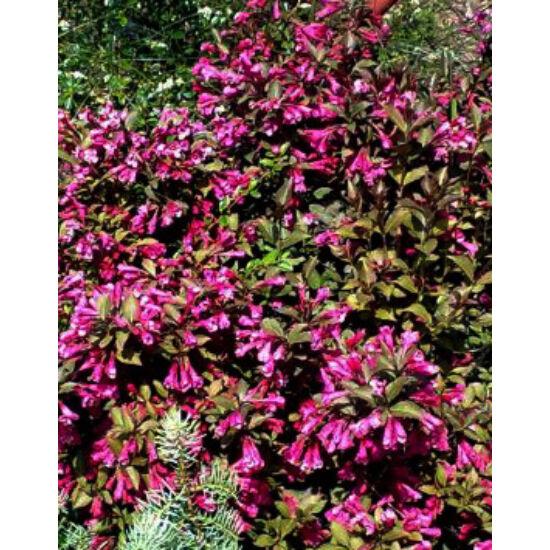 Weigele florida 'Atropurpurea Nana' – Vörös levelű törpe rózsalonc