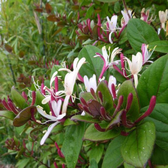 Lonicera japonica 'Chinensis' – Illatos fehér virágú lonc