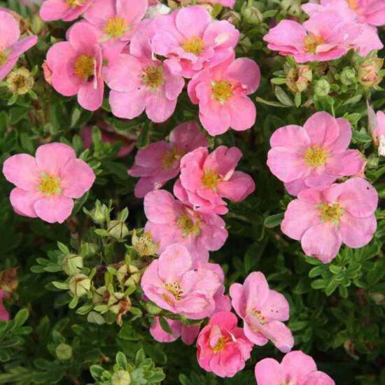 Potentilla fruticosa 'Pink Queen' – Rózsaszín virágú cserjés pimpó