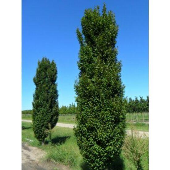 Carpinus betulus 'Lucas' – Oszlopos gyertyán (extra méretű koros)