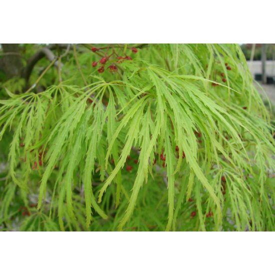 Acer palmatum 'Viridis' - Csüngő japán juhar