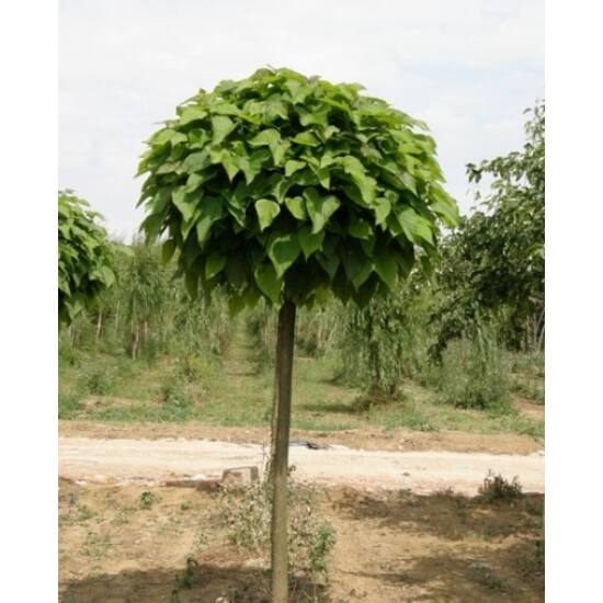 Catalpa bignonioides 'Nana' - Gömbkoronájú szivarfa