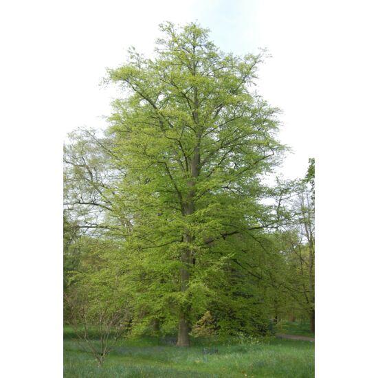 Fagus sylvatica - Közönséges bükk (extra méretű koros)