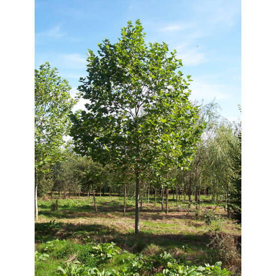 Platanus acerifolia - Platán
