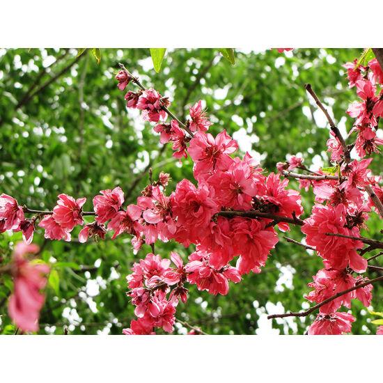 Prunus persica 'Bonansa' - Őszibarack