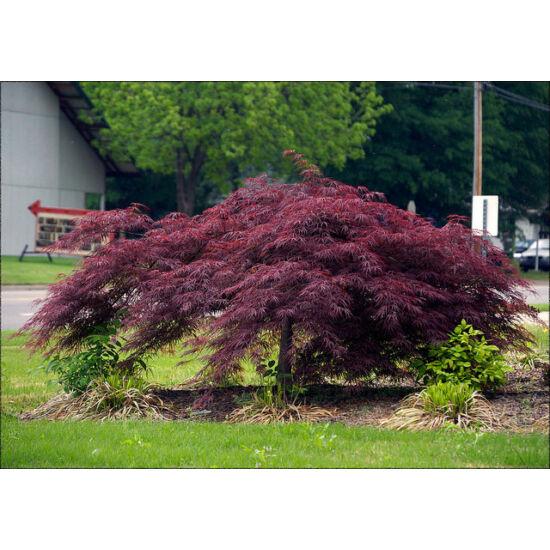 Acer palmatum 'Inaba-Shidare' - Japán juhar