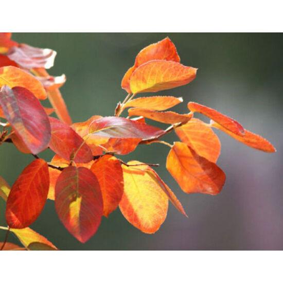 Amelanchier arborea 'Robin Hill' – Fanyarka