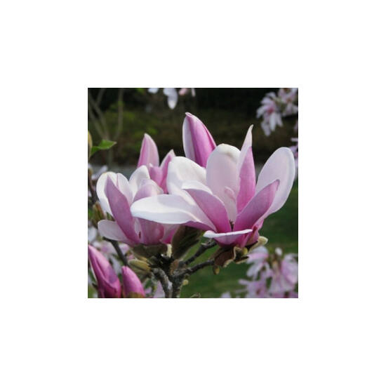 Magnolia 'George Henry Kern' – Rózsaszín virágú liliomfa