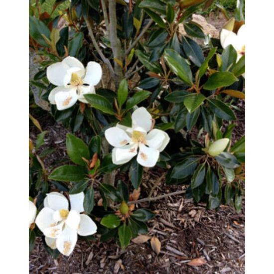 Magnolia grandiflora 'Little Gem' – Örökzöld nagyvirágú liliomfa