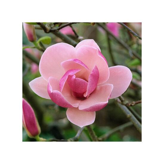 Magnolia 'Rustica Rubra' – Nagyvirágú liliomfa