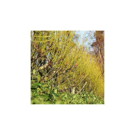 Tilia platyphyllos 'Aurea' - Sárga vesszejű nagylevelű hárs
