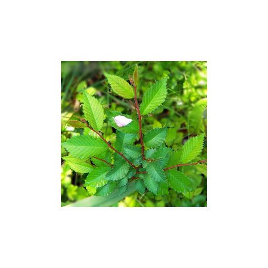 Ulmus pumila variegata 'Arborea' - Pusztaszil