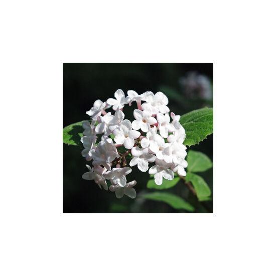 Viburnum carlesii – Illatos bangita