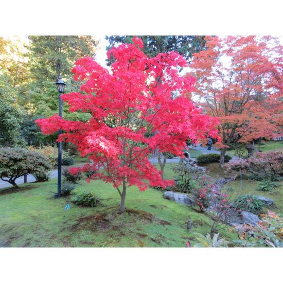 Acer palmatum 'Osakazuki' - Japán juhar (extra méretű koros)