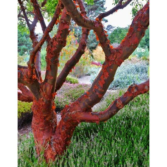 Acer griseum – Szürke juhar