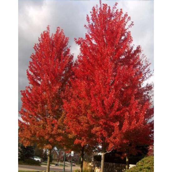 Acer rubrum – Vörös juhar