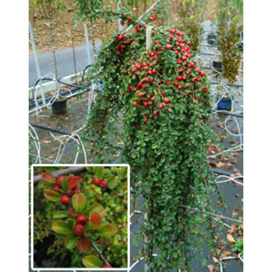 Cotoneaster salicifolius 'Winter Jewel' – Magas törzsű madárbirs