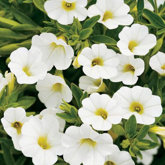 Calibrachoa 'Aloha Kona® White' – Dúsvirágú petúnia