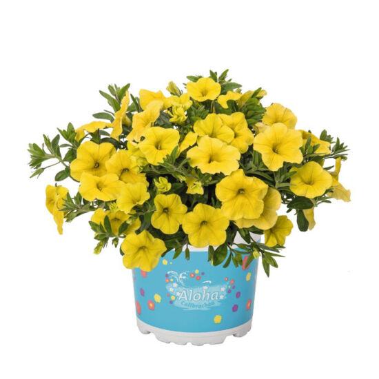 Calibrachoa 'Aloha Kona® Yellow' – Dúsvirágú petúnia