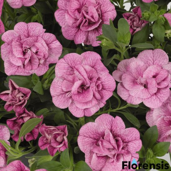 Calibrachoa 'Can-Can® Rosies Pink Vein' – Dúsvirágú petúnia