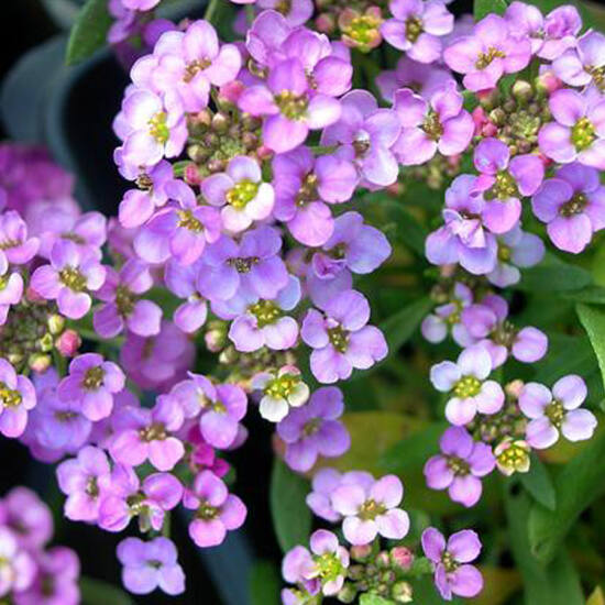 Lobularia maritima 'Easter Bonnet® Lavender' – Illatos ternye (mézvirág)
