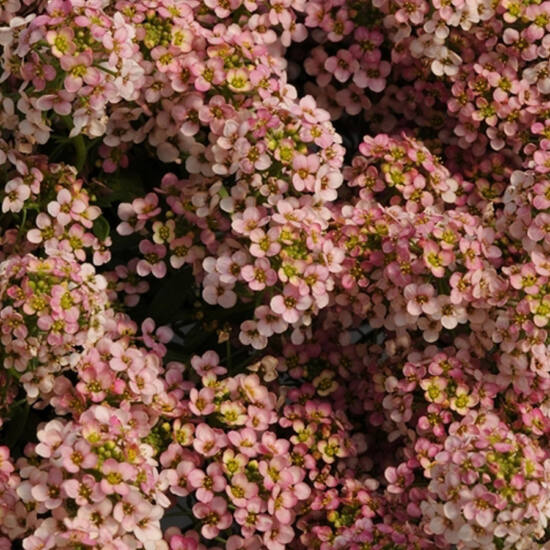 Lobularia maritima 'Easter Bonnet® Peach' – Illatos ternye (mézvirág)