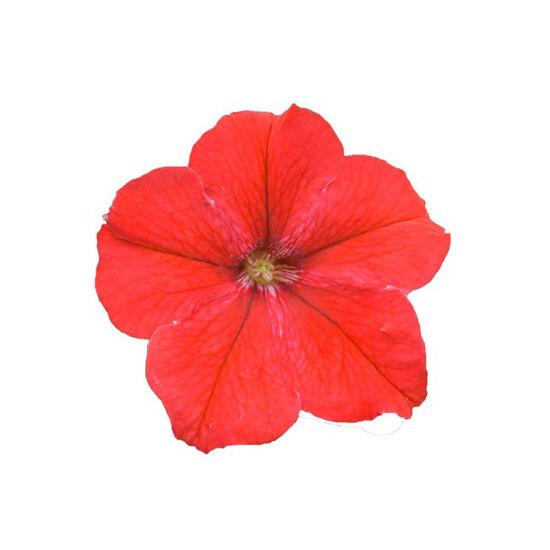 Petunia grandiflora 'Cima® Compact Red' – Petúnia
