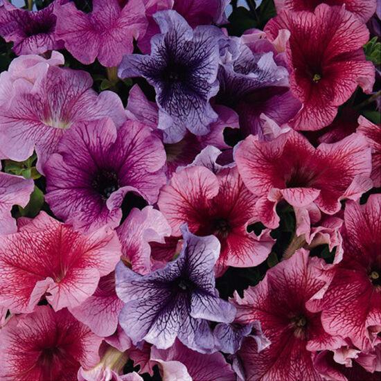 Petunia grandiflora 'Cima® Veined Mix' – Petúnia